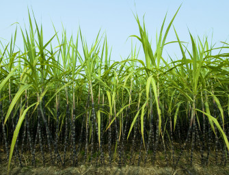UC Berkeley Scientists Discovered How Using Sugarcane To Power Jets Can Cut 80% Greenhouse Gas Emission
